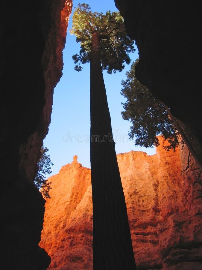 υψηλό sequoia φαραγγιών δέντρο στοκ φωτογραφία με δικαίωμα ελεύθερης χρήσης