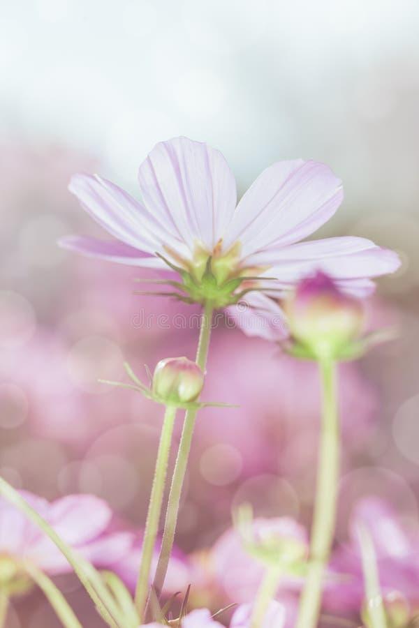 Υψηλή βασική εικόνα των ρόδινων λουλουδιών κόσμου ομορφιάς κάτω από την ηλιοφάνεια στοκ φωτογραφίες με δικαίωμα ελεύθερης χρήσης