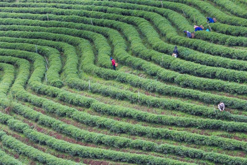 Υψηλή φυτεία τσαγιού λόφων πράσινη στοκ φωτογραφίες