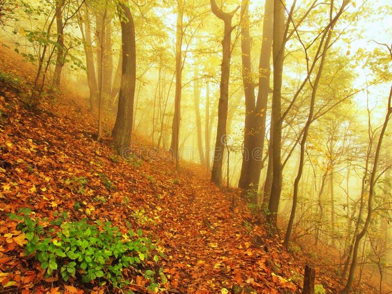 Υδρονέφωση φθινοπώρου στη δασική οξιά Bended άδειας και δέντρα σφενδάμνων με τα λιγότερα φύλλα κάτω από την ομίχλη ημέρα βροχερή στοκ εικόνες