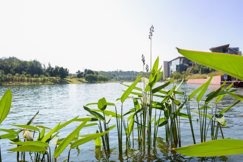 Υδρόβια χλόη όχθεων της λίμνης το ηλιόλουστο μεσημέρι στοκ εικόνες με δικαίωμα ελεύθερης χρήσης