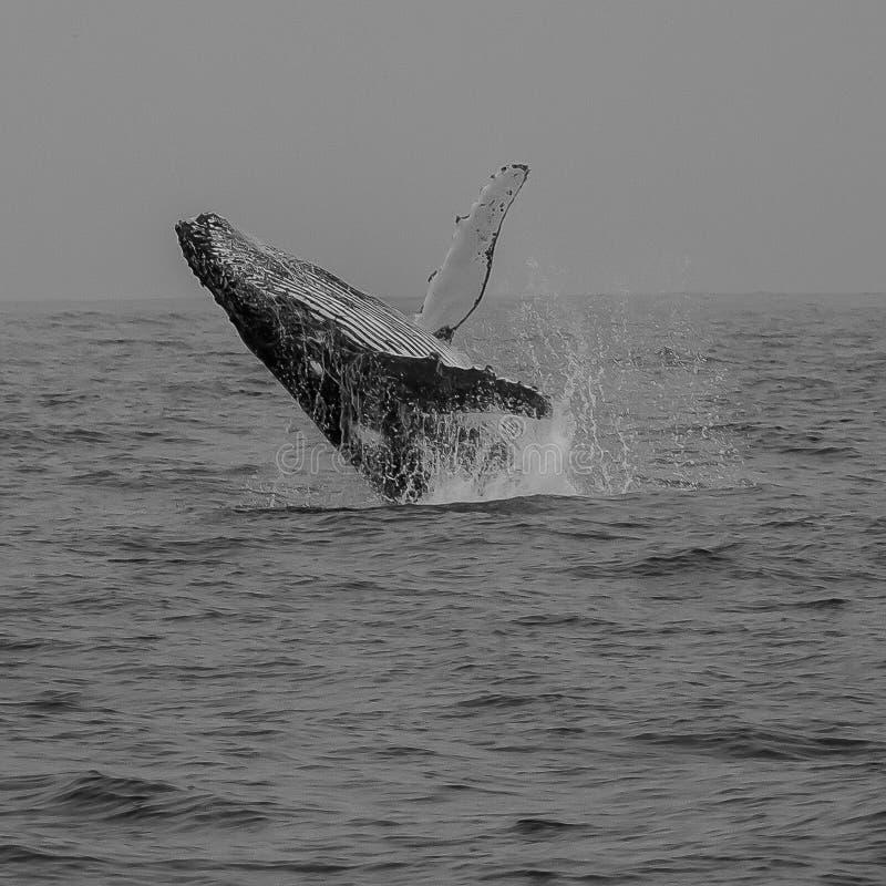 Φάλαινα παραβίασης σε Mononchrome στοκ φωτογραφίες με δικαίωμα ελεύθερης χρήσης