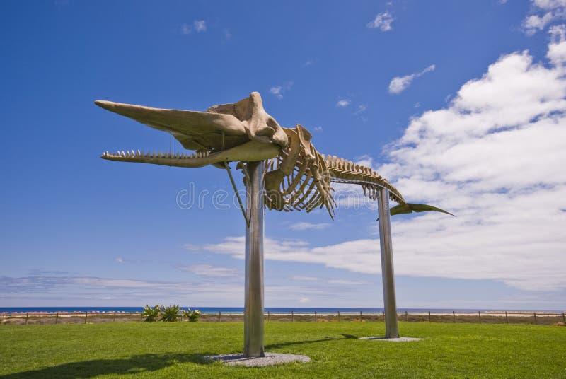 φάλαινα σπέρματος σκελε στοκ φωτογραφίες με δικαίωμα ελεύθερης χρήσης