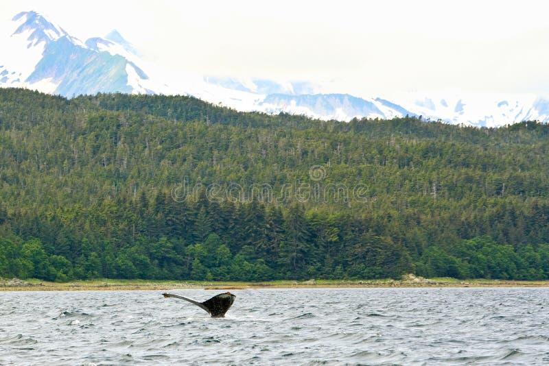 Φάλαινα της Αλάσκας στις απομακρυσμένες άγρια περιοχές στοκ εικόνες