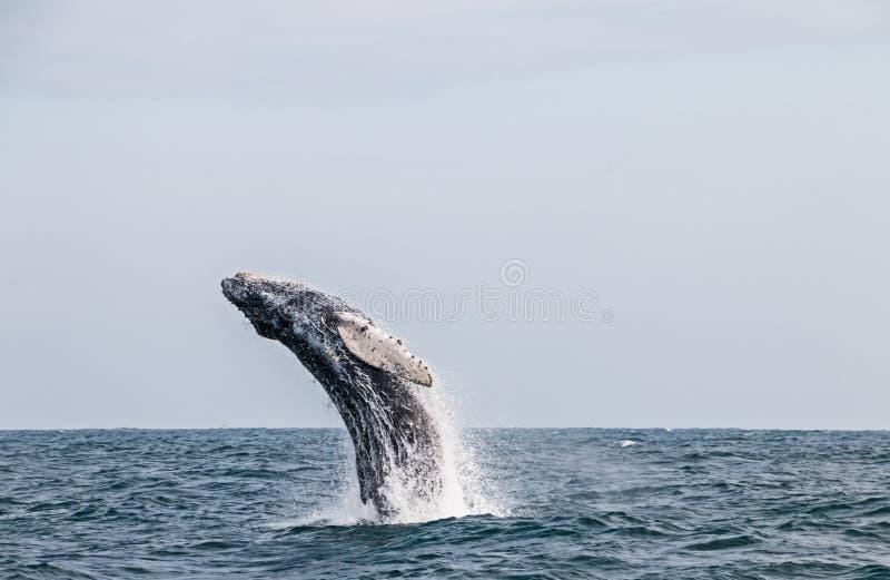Φάλαινα Humpback που πηδά στον περουβιανό Ειρηνικό Ωκεανό Πρώτο τέντωμα στοκ φωτογραφίες
