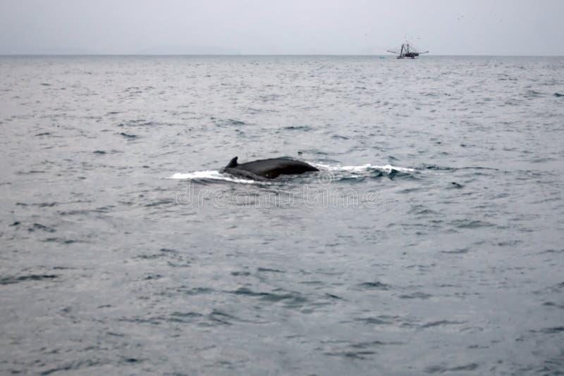 Φάλαινα Humpback στον Ισημερινό στοκ εικόνα