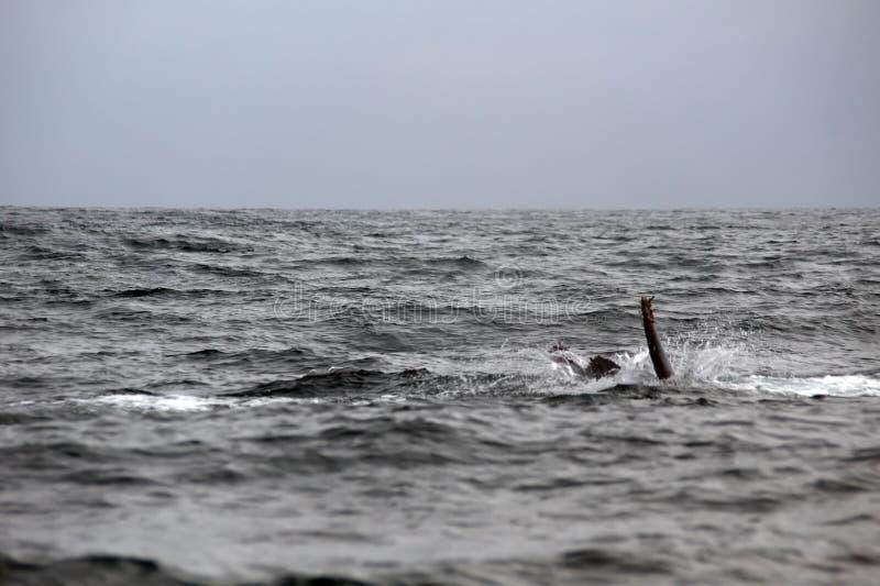 Φάλαινα Humpback στον Ισημερινό στοκ φωτογραφία με δικαίωμα ελεύθερης χρήσης