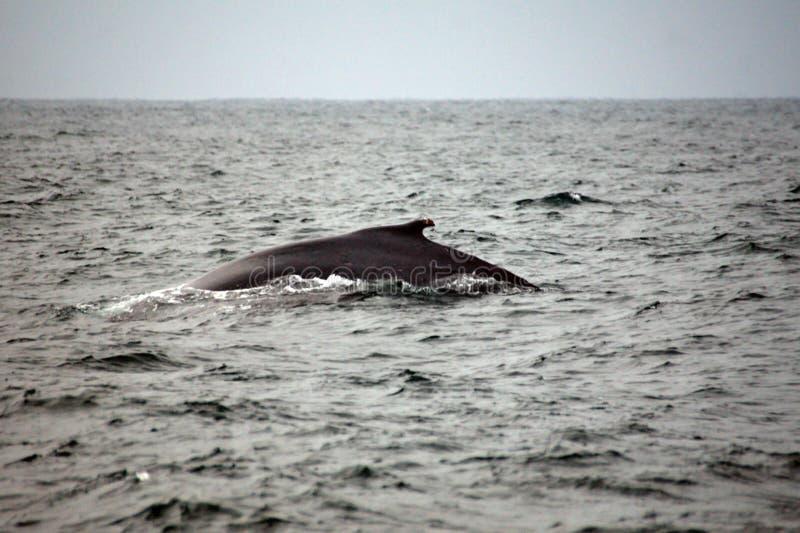 Φάλαινα Humpback στον Ισημερινό στοκ φωτογραφίες