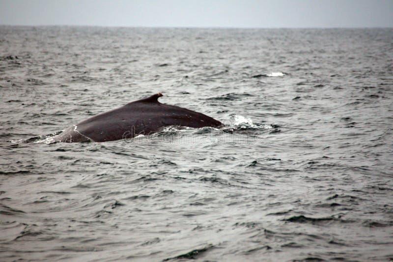 Φάλαινα Humpback στον Ισημερινό στοκ εικόνα με δικαίωμα ελεύθερης χρήσης