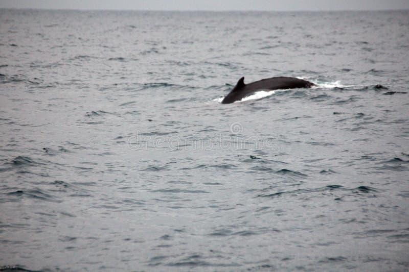 Φάλαινα Humpback στον Ισημερινό στοκ εικόνες με δικαίωμα ελεύθερης χρήσης