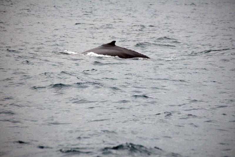 Φάλαινα Humpback στον Ισημερινό στοκ φωτογραφίες με δικαίωμα ελεύθερης χρήσης