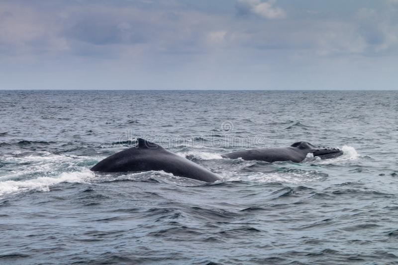 Φάλαινα Humpback στο εθνικό πάρκο Machalilla στοκ εικόνα
