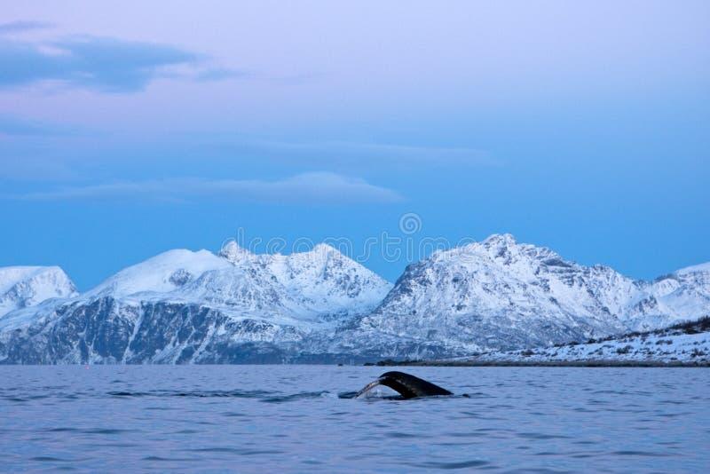 Φάλαινα Humpback, novaeangliae megaptera, Νορβηγία στοκ εικόνα με δικαίωμα ελεύθερης χρήσης