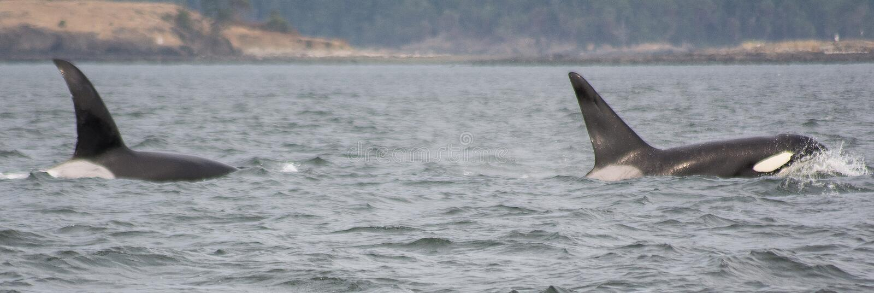 Φάλαινες Κ-λοβών Orca στοκ φωτογραφίες
