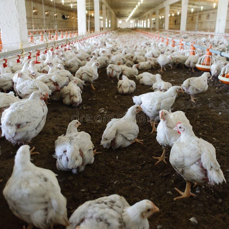Φάρμα πουλερικών στοκ φωτογραφίες με δικαίωμα ελεύθερης χρήσης
