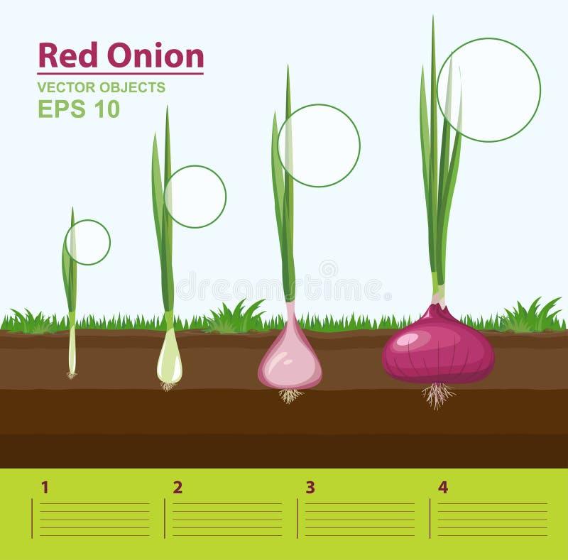 Φάσεις αύξησης ενός κόκκινου κρεμμυδιού στον κήπο Στάδιο αύξησης infographic έννοια διανυσματική απεικόνιση