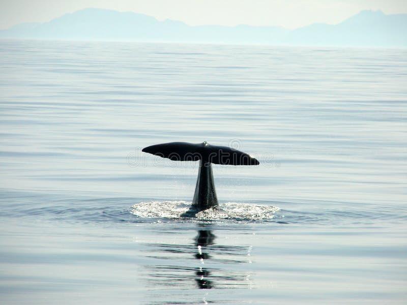 Φάλαινα κατάδυσης στοκ εικόνες