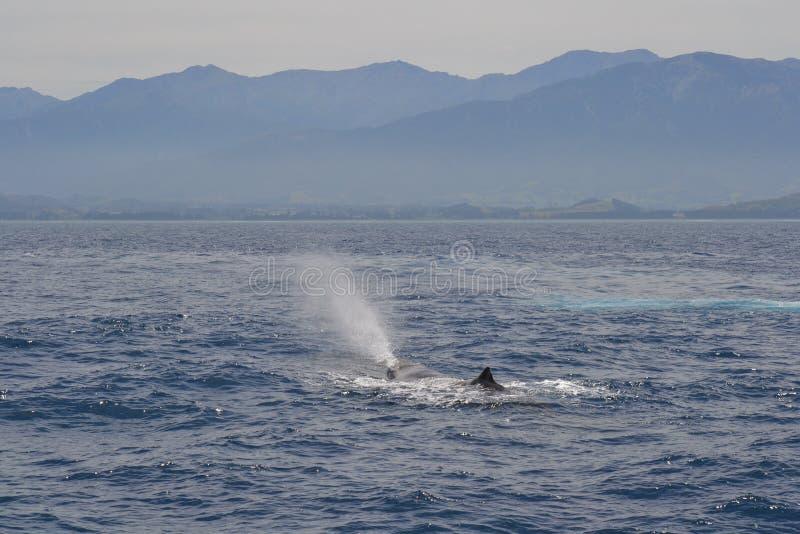 Φάλαινα σπέρματος που εμφανίζεται για τον αέρα, Kaikoura, Νέα Ζηλανδία στοκ εικόνα