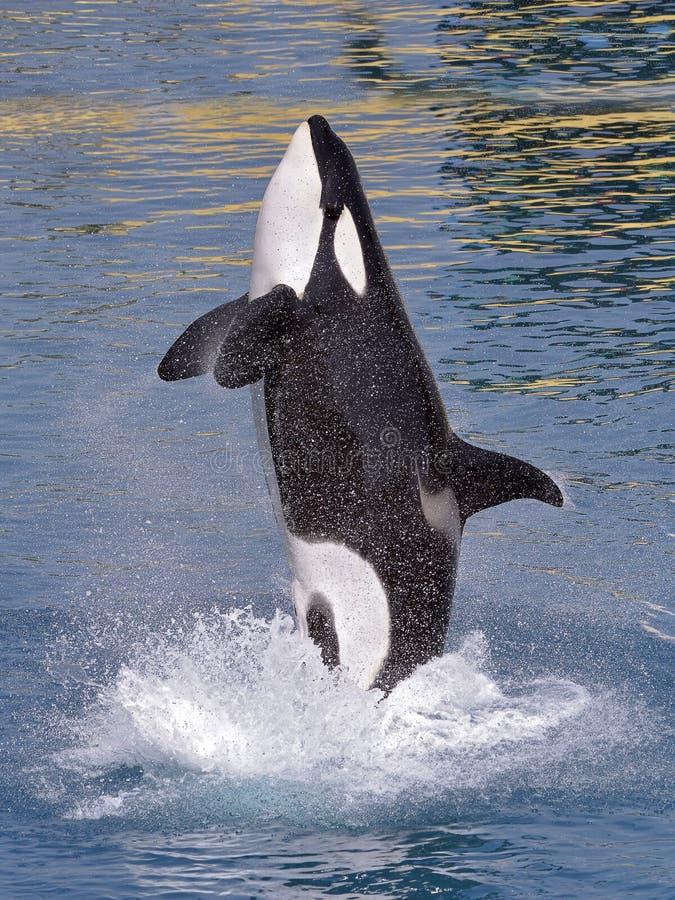 φάλαινα ύδατος δολοφόνω&nu στοκ φωτογραφία με δικαίωμα ελεύθερης χρήσης
