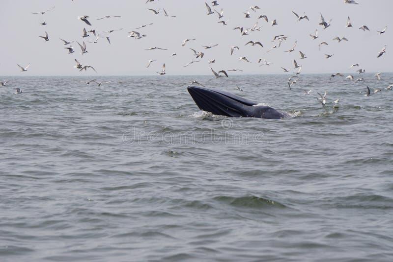 φάλαινα bryde s στοκ εικόνα με δικαίωμα ελεύθερης χρήσης