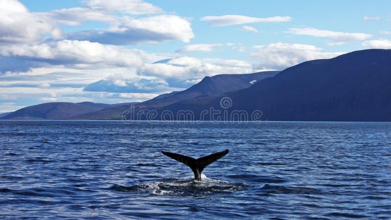 Φάλαινα Humpback που παίρνει μια κατάδυση στοκ εικόνες