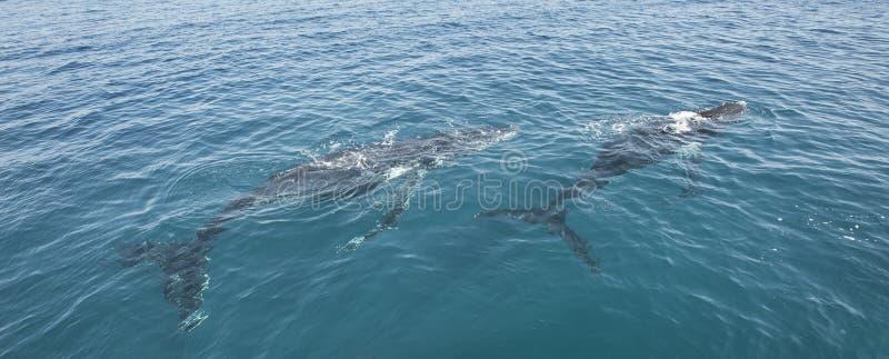 Φάλαινες Humpback στον κόλπο Αυστραλία Hervey στοκ εικόνα