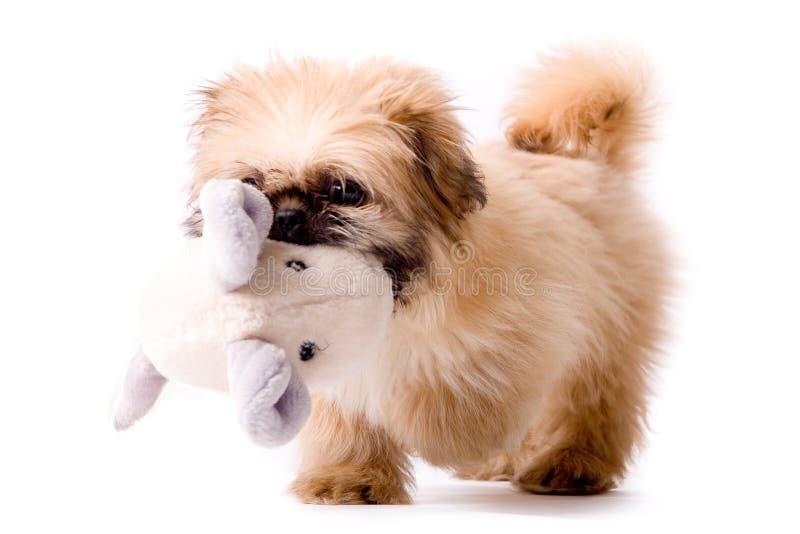 φέρνει στο σκυλί το pekingese παι&c στοκ εικόνα με δικαίωμα ελεύθερης χρήσης
