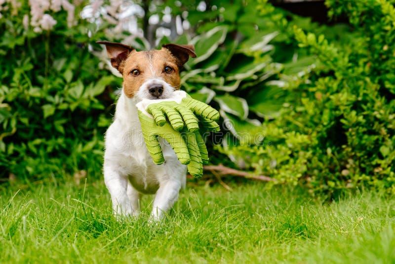 Φέρνοντας γάντια κηπουρικής σκυλιών που τρέχουν στον πράσινο χορτοτάπητα χλόης στον κήπο στοκ εικόνες