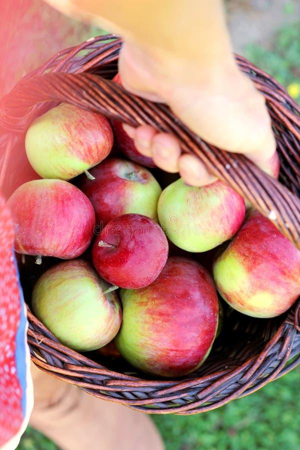 Φέρνοντας καλάθι χεριών γυναίκας των πρόσφατα συγκομισμένων μήλων στοκ εικόνες με δικαίωμα ελεύθερης χρήσης
