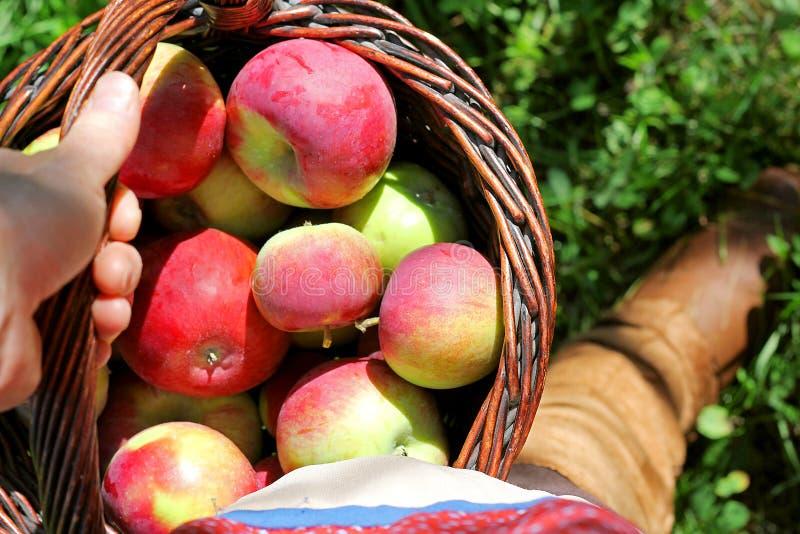 Φέρνοντας καλάθι χεριών γυναίκας των πρόσφατα συγκομισμένων μήλων στοκ φωτογραφία