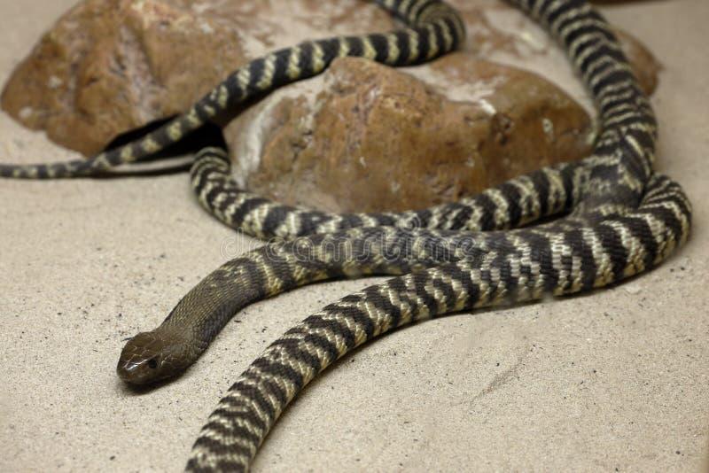 Φίδια ενός νέα Cobra στοκ εικόνες