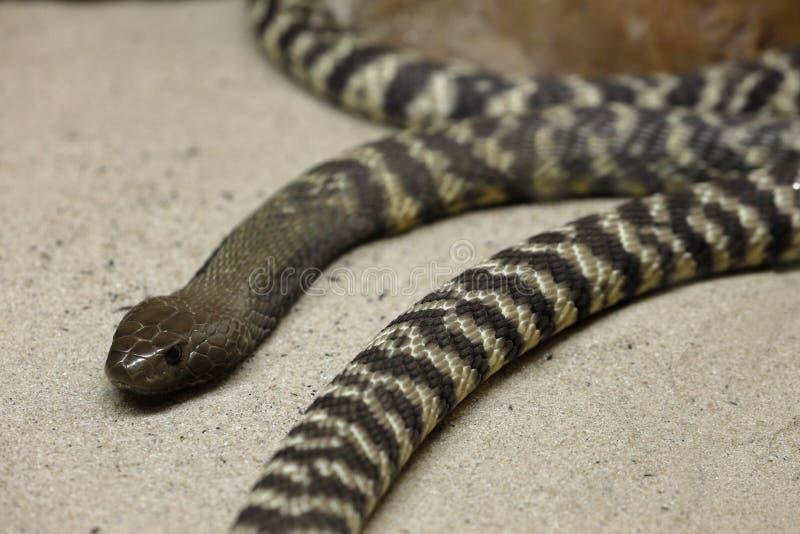 Φίδια ενός νέα Cobra στοκ φωτογραφία