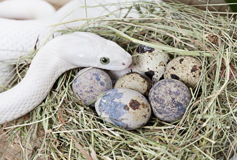 Φίδι αρουραίων του Τέξας σε έναν συμπλέκτη των αυγών στοκ φωτογραφίες με δικαίωμα ελεύθερης χρήσης