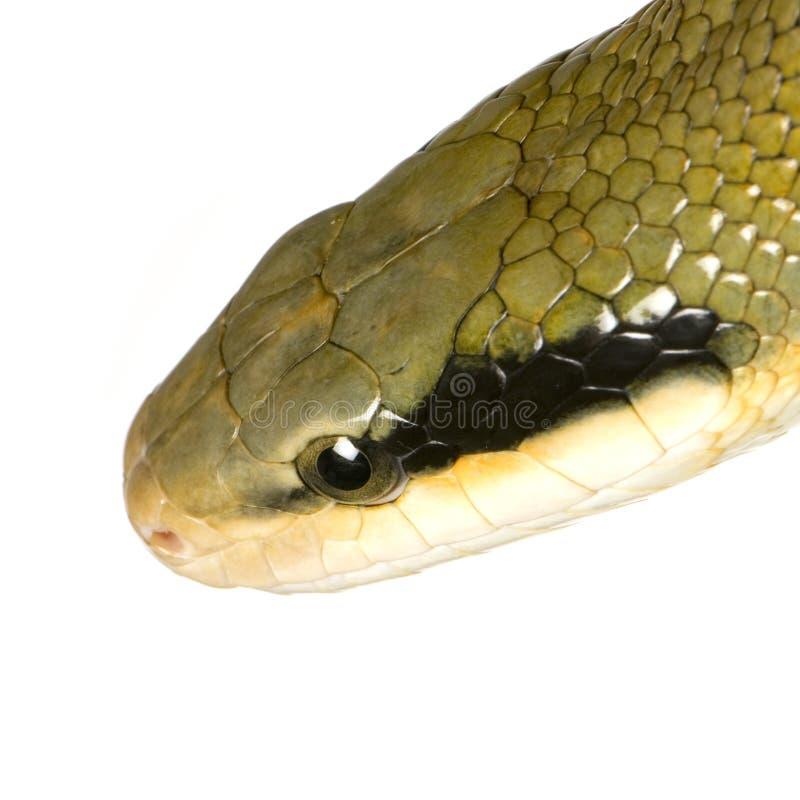 φίδι αρουραίων στοκ φωτογραφία με δικαίωμα ελεύθερης χρήσης