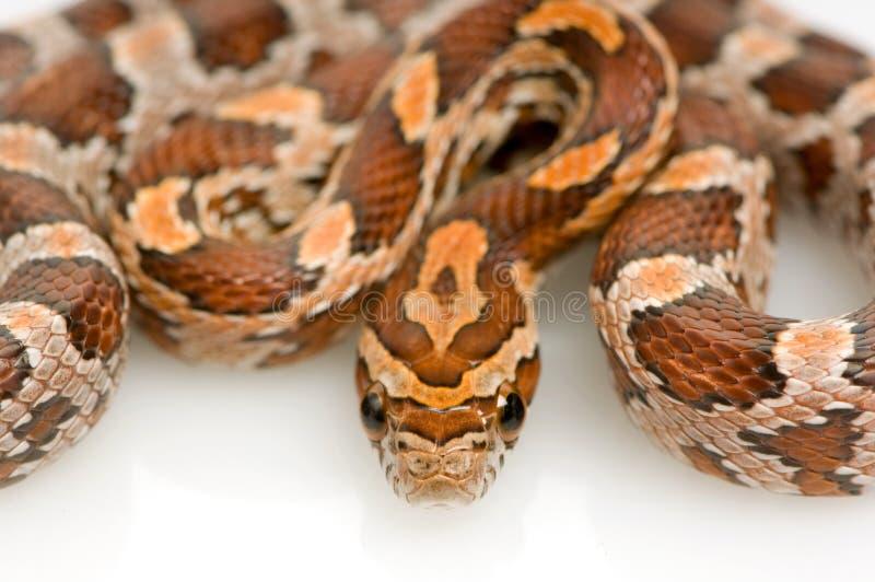 φίδι καλαμποκιού στοκ φωτογραφίες