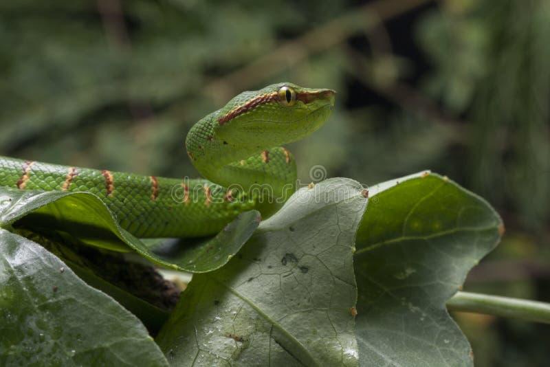Φίδι οχιών κοιλωμάτων Wagler - wagleri Tropidolaemus στοκ εικόνες