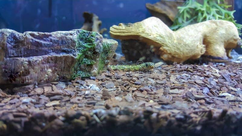 Φίδι στο terrarium στοκ φωτογραφίες με δικαίωμα ελεύθερης χρήσης