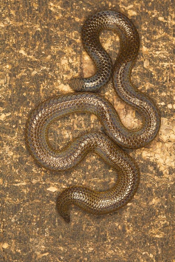Φίδι του Elliot ` s shieldtail, ellioti Uropeltis Δυτικό Ghats του οροπέδιου Kaas στοκ εικόνα