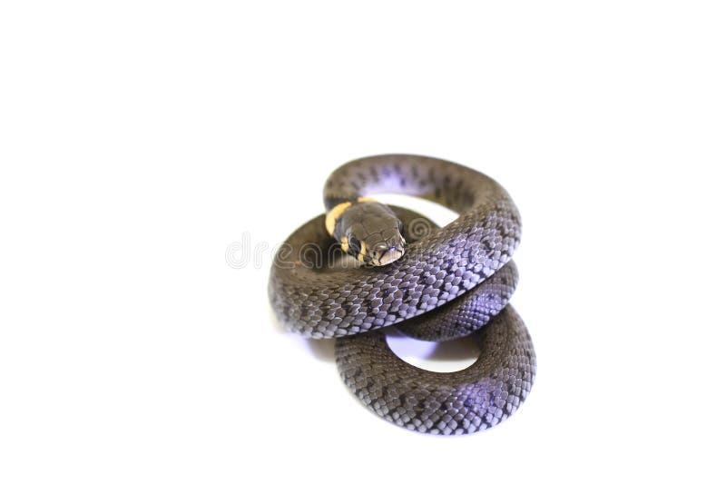 φίδι χλόης μπουκλών στοκ φωτογραφίες με δικαίωμα ελεύθερης χρήσης
