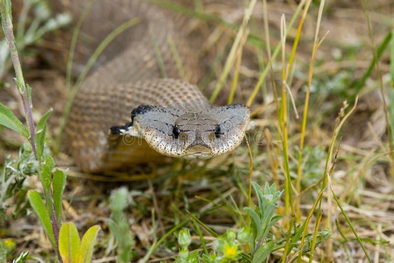 Φίδι Hognosed στοκ φωτογραφία με δικαίωμα ελεύθερης χρήσης