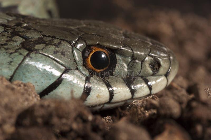 Φίδι Natrix χλόης natrix, μάτι, περιδέραιο στοκ εικόνες