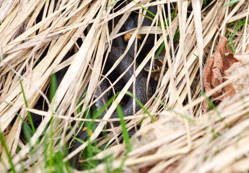 Φίδια στη χλόη στοκ φωτογραφία με δικαίωμα ελεύθερης χρήσης