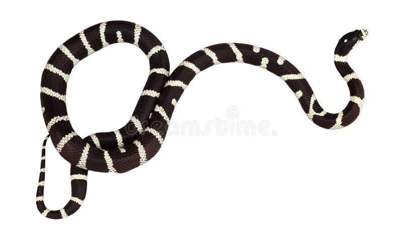Φίδι βασιλιάδων που απομονώνεται στοκ φωτογραφία με δικαίωμα ελεύθερης χρήσης