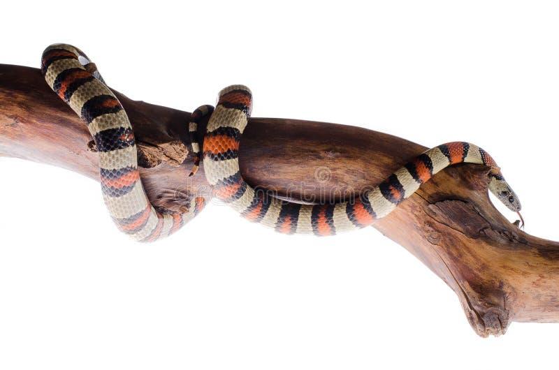 Φίδι βασιλιάδων Perfeck στον καθρέφτη στοκ φωτογραφίες με δικαίωμα ελεύθερης χρήσης