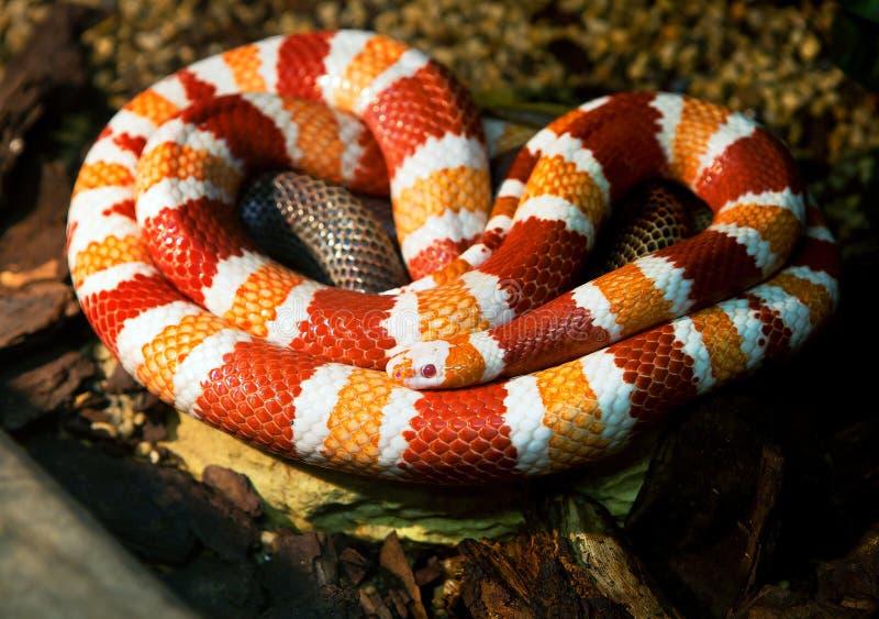Φίδι γάλακτος Ονδουριανών στοκ εικόνα
