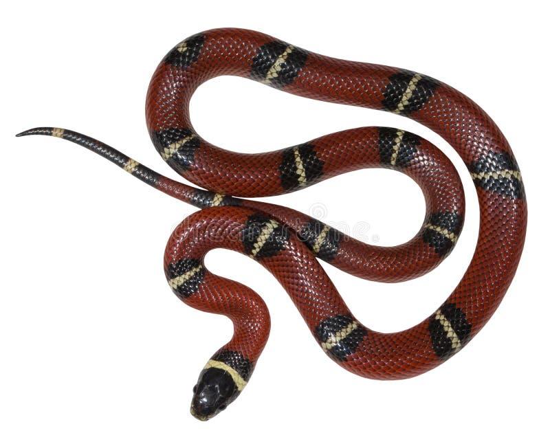 Φίδι γάλακτος Sinaloan που απομονώνεται στο άσπρο υπόβαθρο στοκ φωτογραφίες