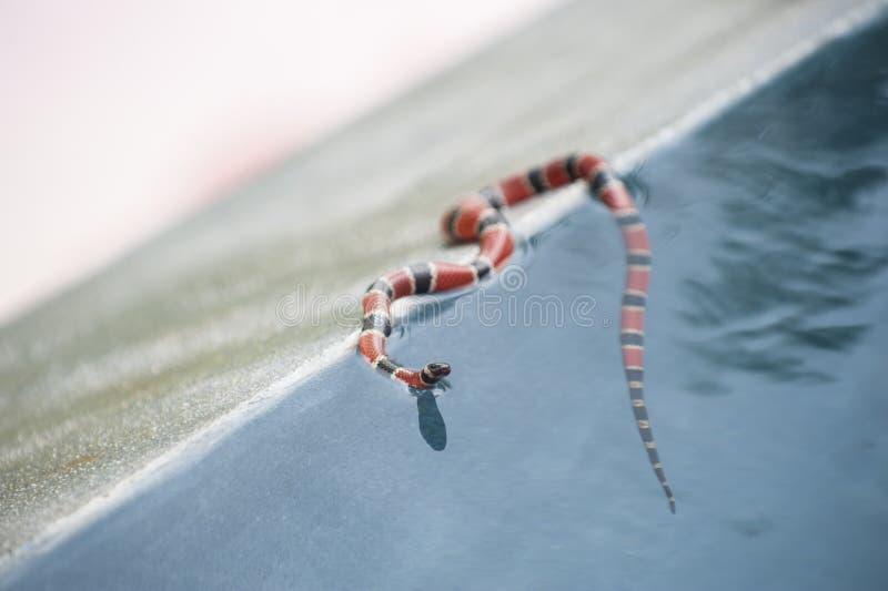 Φίδι κοραλλιών στοκ φωτογραφία