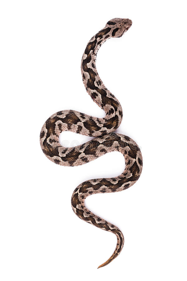 Φίδι οχιών στοκ φωτογραφία