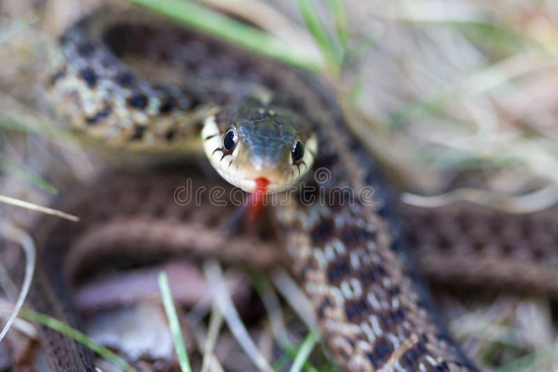 Φίδι που κουλουριάζεται στοκ εικόνες με δικαίωμα ελεύθερης χρήσης