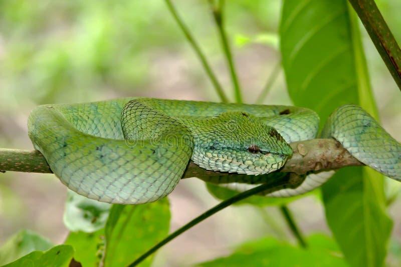 Φίδι που περιμένει ένα θήραμα στοκ εικόνες